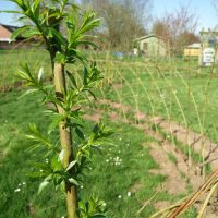 The Willow is growing 🌳👍